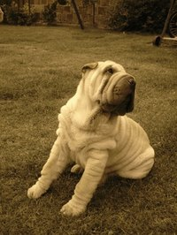 The Chinese Shar-Pei is a wrinkly dog with small ears.