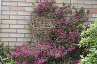 Restore old azaleas to encourage bushy growth and abundant blooms.