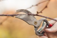 A close-up of pruning scissors clipping a budding branch in spring.