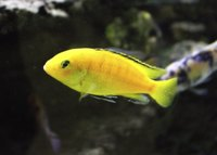 Adult African cichlids can reach 4 to 9 inches in length.