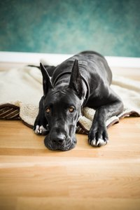 Large breed dogs are at a higher risk for osteosarcoma.