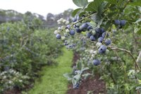 Growing blueberries in central and southern Indiana often requires the addition of organic material to the soil.