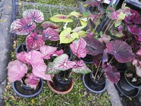 Showy caladium leaves outshine the small, inconspicuous, calla-like flowers.