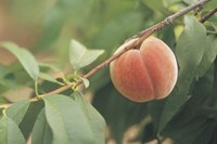 How to Care for a Bonanza Dwarf Peach Tree eHow
