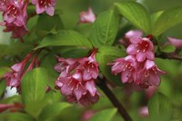 Weigela's funnel-shaped flowers attract hummingbirds.