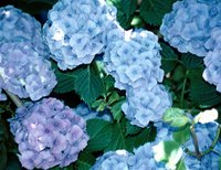 Aphids can hide beneath the canopy of a hydrangea's blooms and leaves.