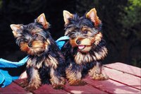 Yorkies are a toy breed.