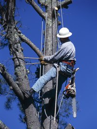 Certified arborists use power lifts and other methods to trim trees at great heights.