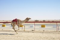 A camel running at a race track.