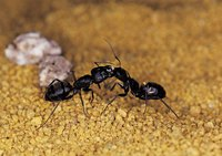Ants communicate in a variety of ways.