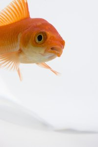 The common goldfish is a good starter fish.