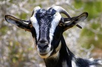 A male goat that doesn't eat is often very sick.