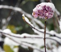 Some hydrangeas keep right on producing flowers as winter opens its jaws.
