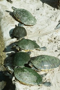 Unlike pond turtles, who may fight for space, sliders usually form peaceful aggregations.