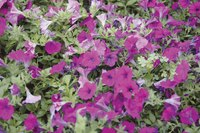 Use less toxic ways to get rid of mites on your petunias.