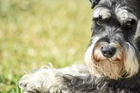 A miniature schnauzer lying on a grass field.