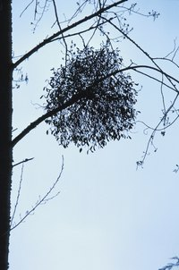 Although parasitic and often undesirable, mistletoe is not invasive.