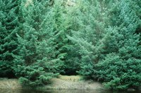 How Long Does It Take a Christmas Tree to Mature?   eHow