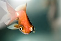 Fancy goldfish with long, showy fins and bulging eyes should live alone or only with others of their kind.