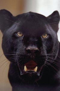 Create a Halloween costume to look like a black panther.