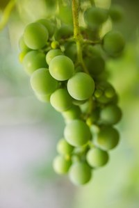 Many kinds of grapes are grown in home gardens.