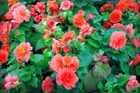 Angel wing begonias growing in the garden.