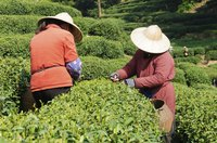 Farmers harvest tea leaves at a tea plantation in China.