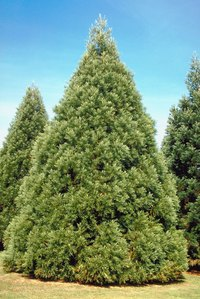 Evergreen trees do lose their leaves, just not all at once.