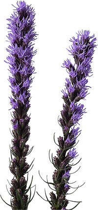 Liatris is a favorite for cut flower arrangements.