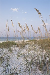 High sea oats waving in the breeze are a common sight in the dunes on Santa Rosa Island in the Florida Panhandle.