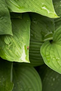 Slugs and snails are common hosta pests, leaving holes and silvery mucus trails.