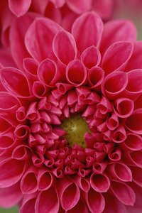 Make Dahlias more colorful by adding a few household items to the soil.
