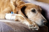 Comfort measures are often employed as a treatment for distemper symptoms.