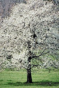 Flowering dogwood is a beautiful ornamental tree native to Michigan.