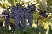 Grapevines are attractive additions to the home landscape.