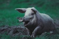 Cleanliness is your best weapon to prevent pig diseases.