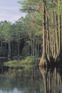 Cypress trees in a Florida swamp.