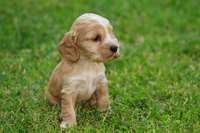 A cocker spaniel puppy on a grass field.