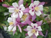 Columbine flowers can be white, pink, blue, purple, red or yellow.