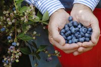 Wisconsin soil can prove challenging for blueberry growers.