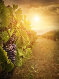 Collect wild grapevines or purchase them from craft stores.