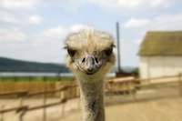 Adult ostriches can thrive in almost any climate.