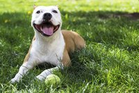 A well-trained pit bull has a better chance of convincing a landlord to rent to you.