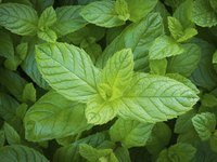 Mint provides a fresh scent and cool, refreshing sensation.