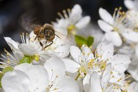 Spring-flowering trees and shrubs provide food for early bees.