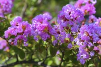 Each of a crepe myrtle's flower clusters contains dozens of 1- to 2-inch blooms.