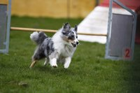 Dog running through obstacle course at dog show.