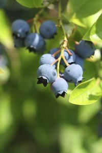 Unlike bilberry fruits, blueberry fruits have a pronounced crown on one end.