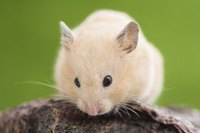 Close-up of hamster on a rock.