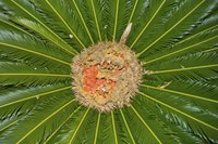 An overhead view of seeds in the center of a Queen Palm tree.